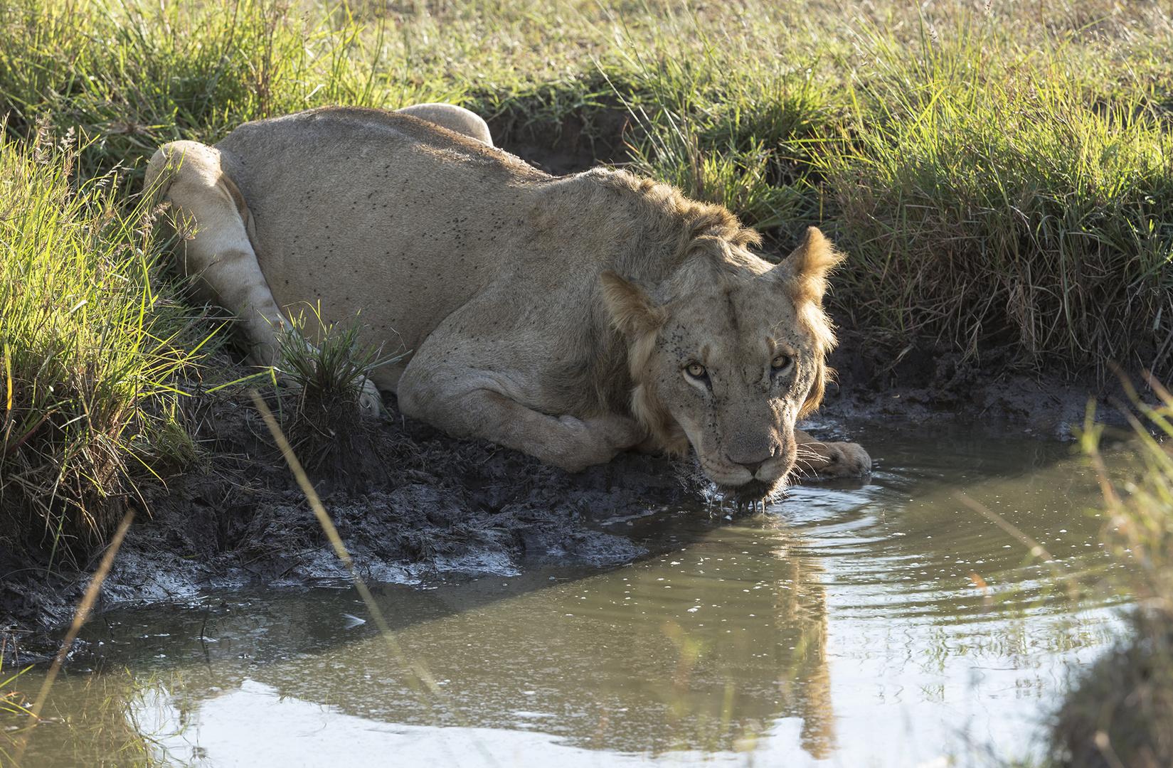 Löwe stillt seinen Durst