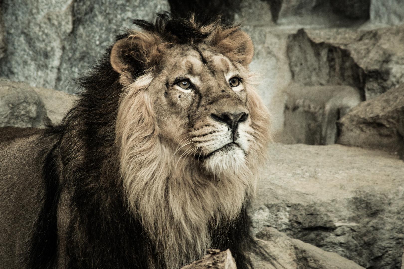 Löwe, Tierpark Berlin