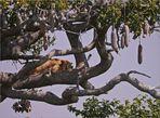 Löwe träumt im Leberwurstbaum...