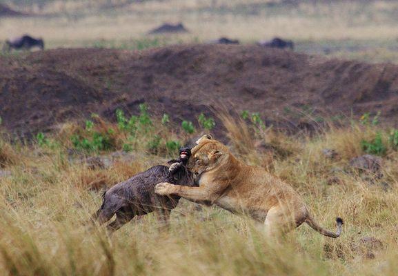 Löwe und Gnu