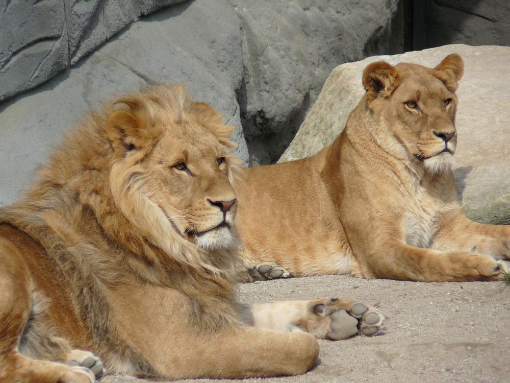 Löwe und Löwin bei Hagenbecks...