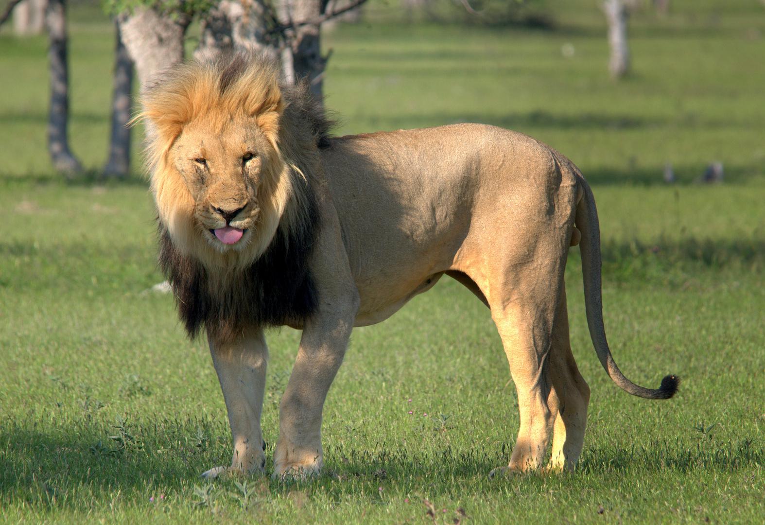 Löwe V