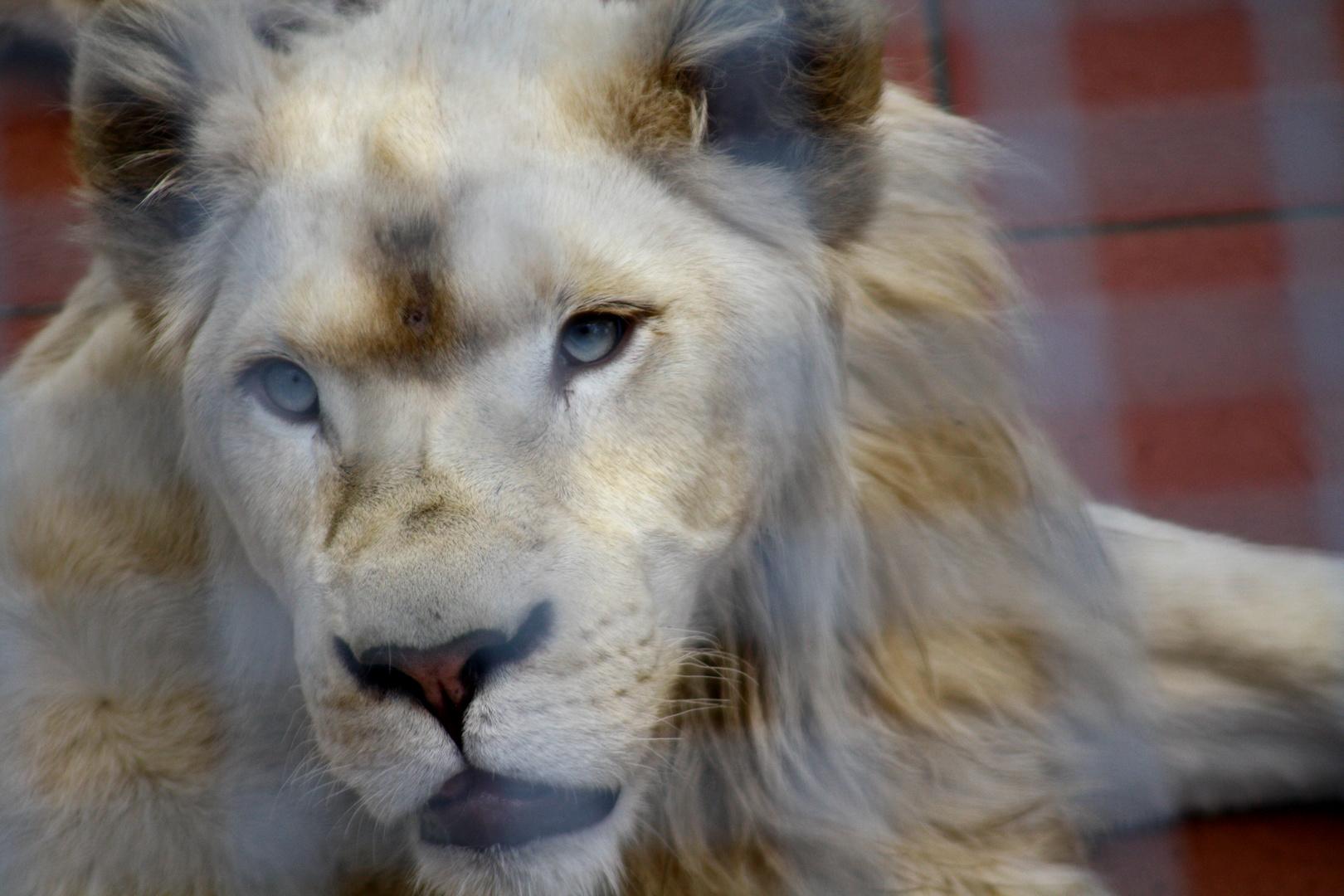 Löwe weiß
