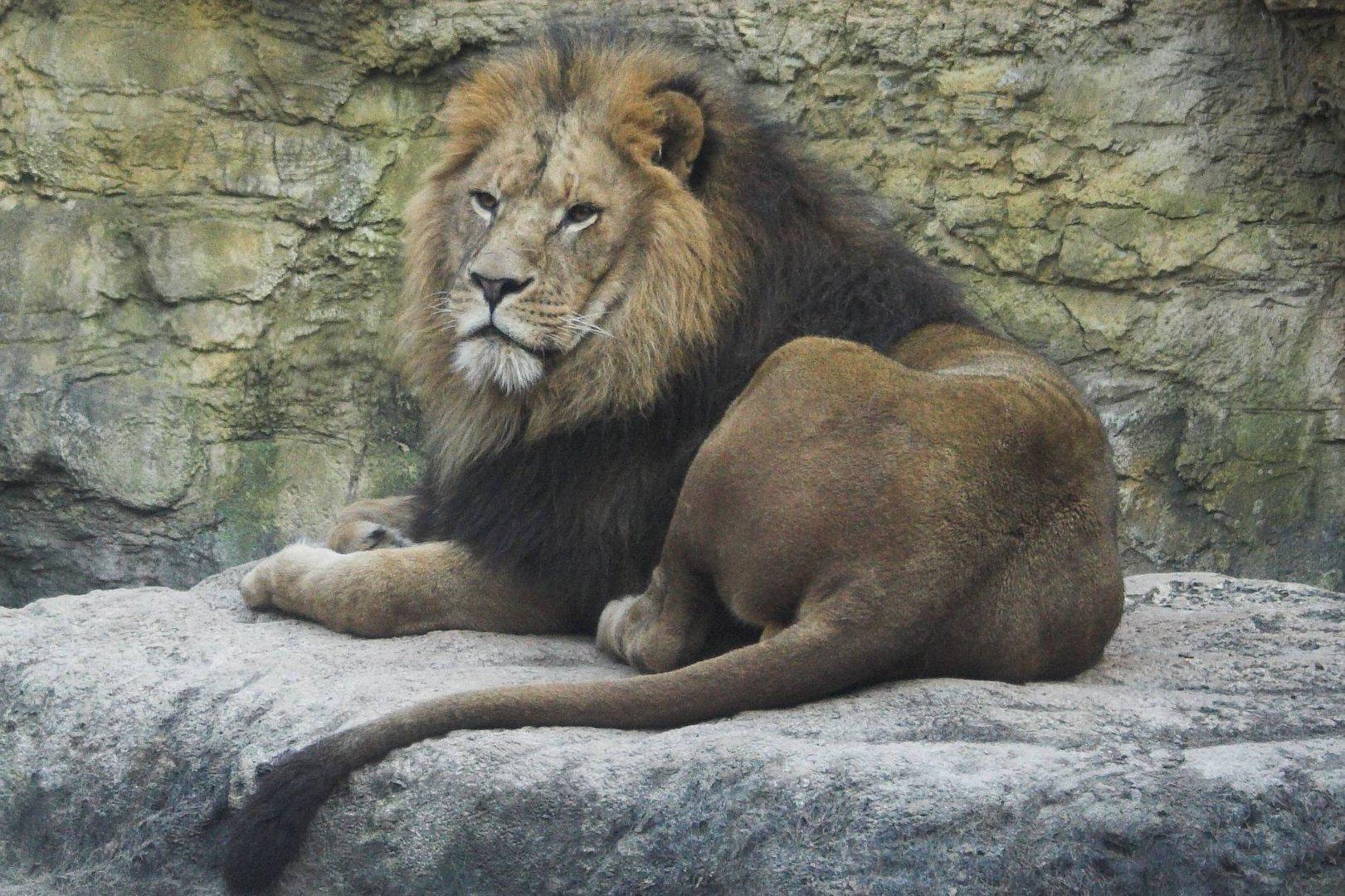Löwe, Wuppertaler Zoo