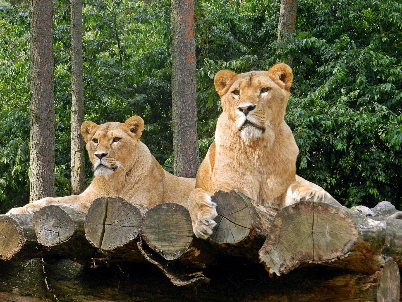 Löwen .....