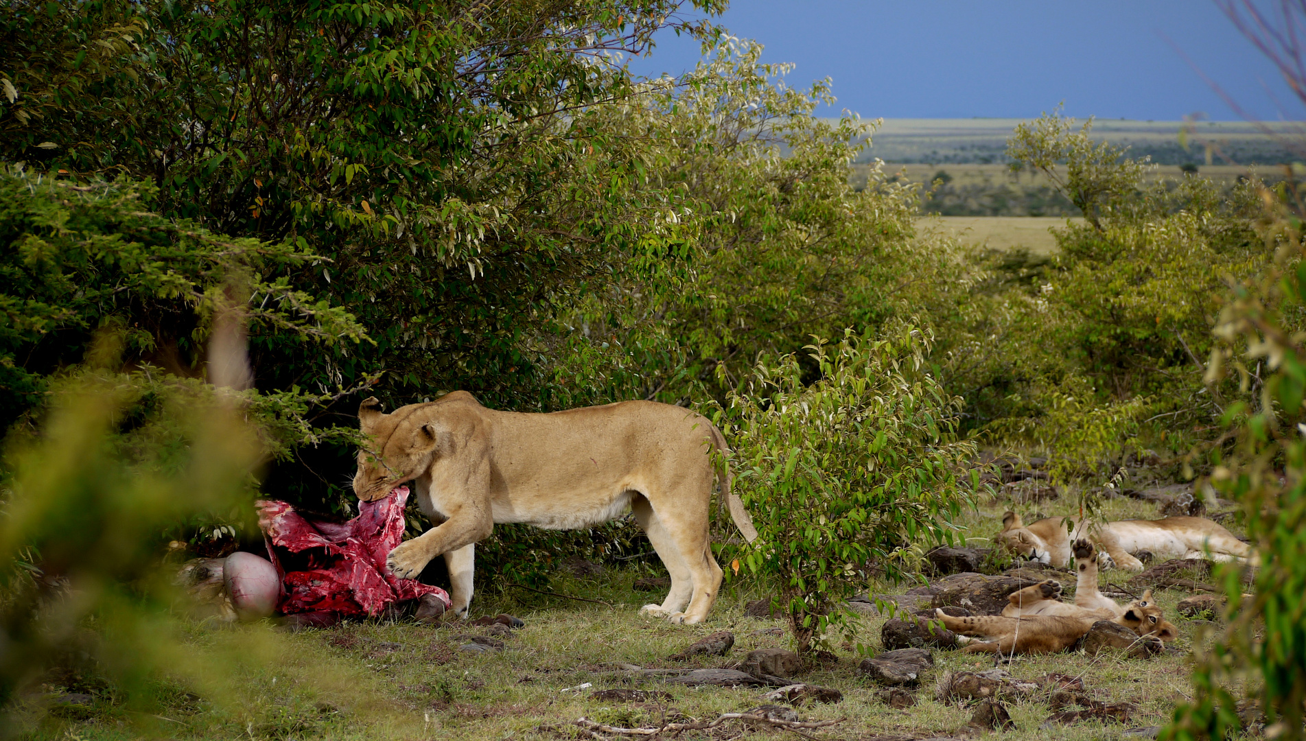 Löwen am Riss