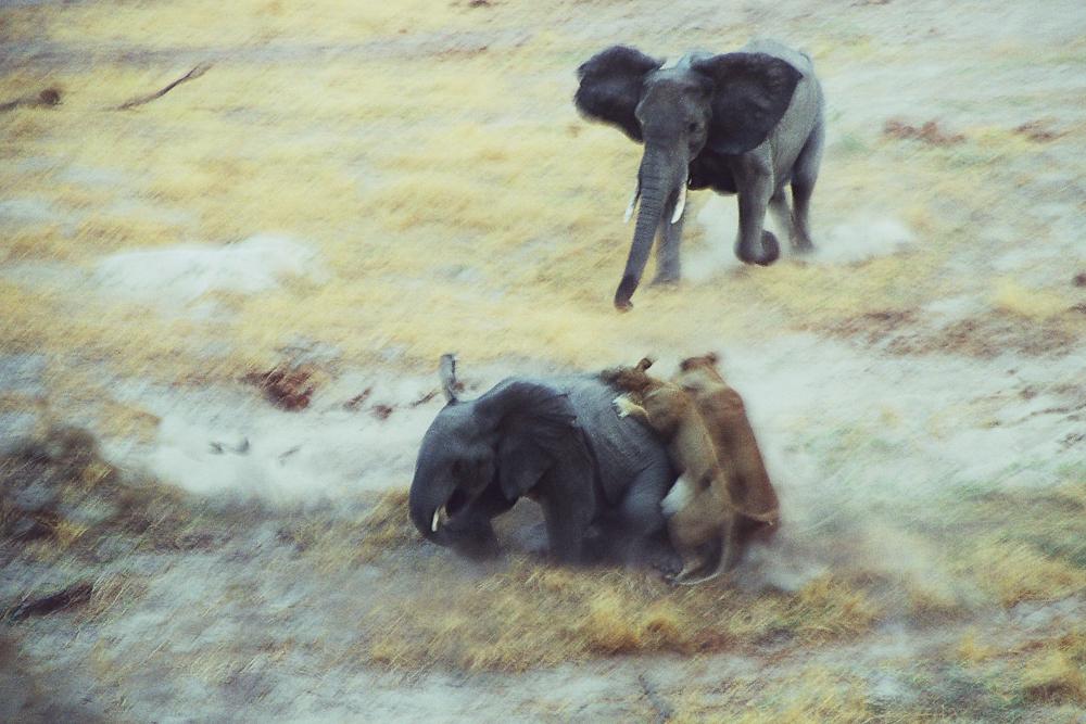 Löwen attackieren Elefanten
