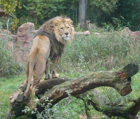 Löwen Aussicht