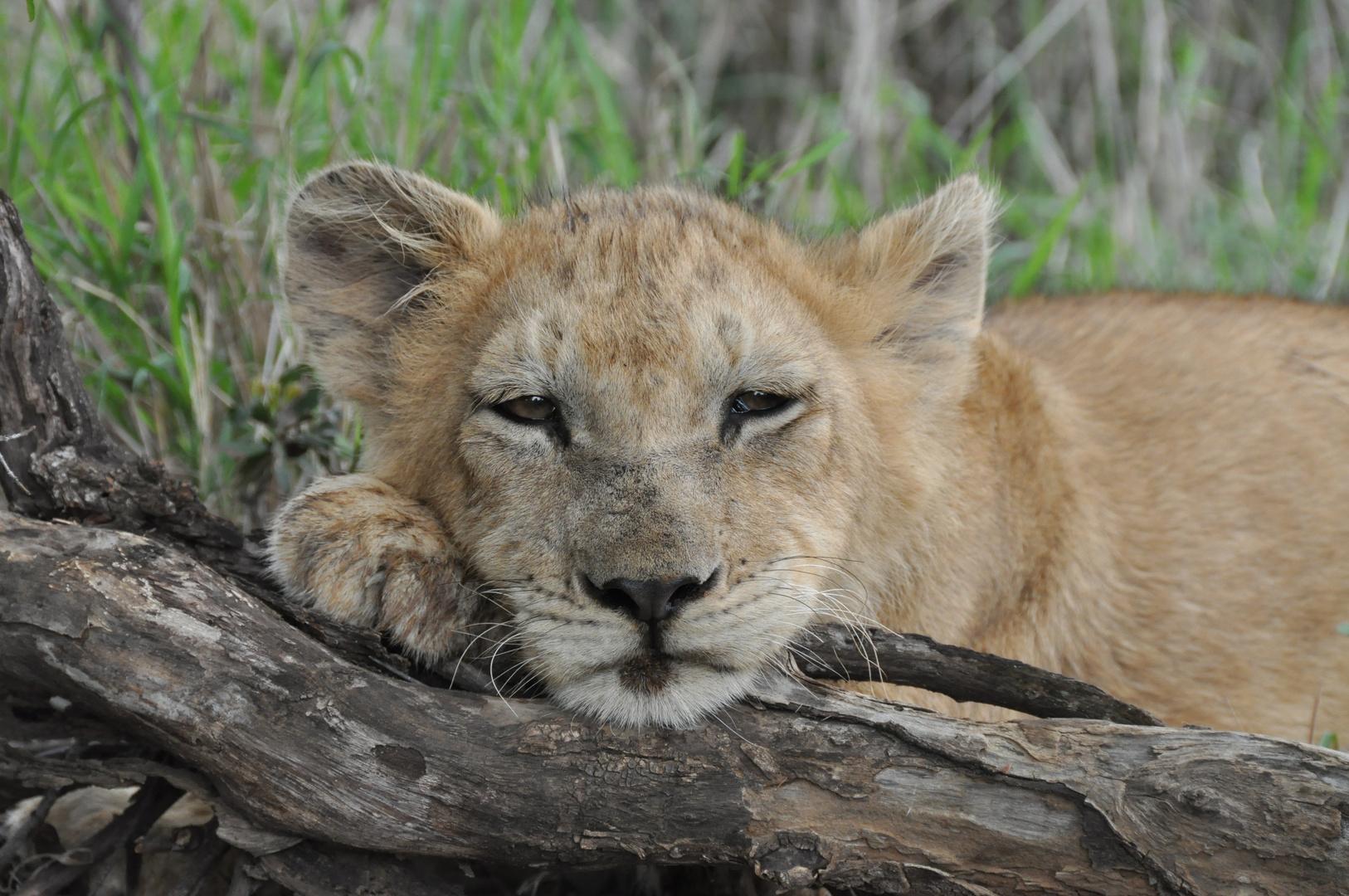 Löwen Baby / Lion Cub Südafrika 4