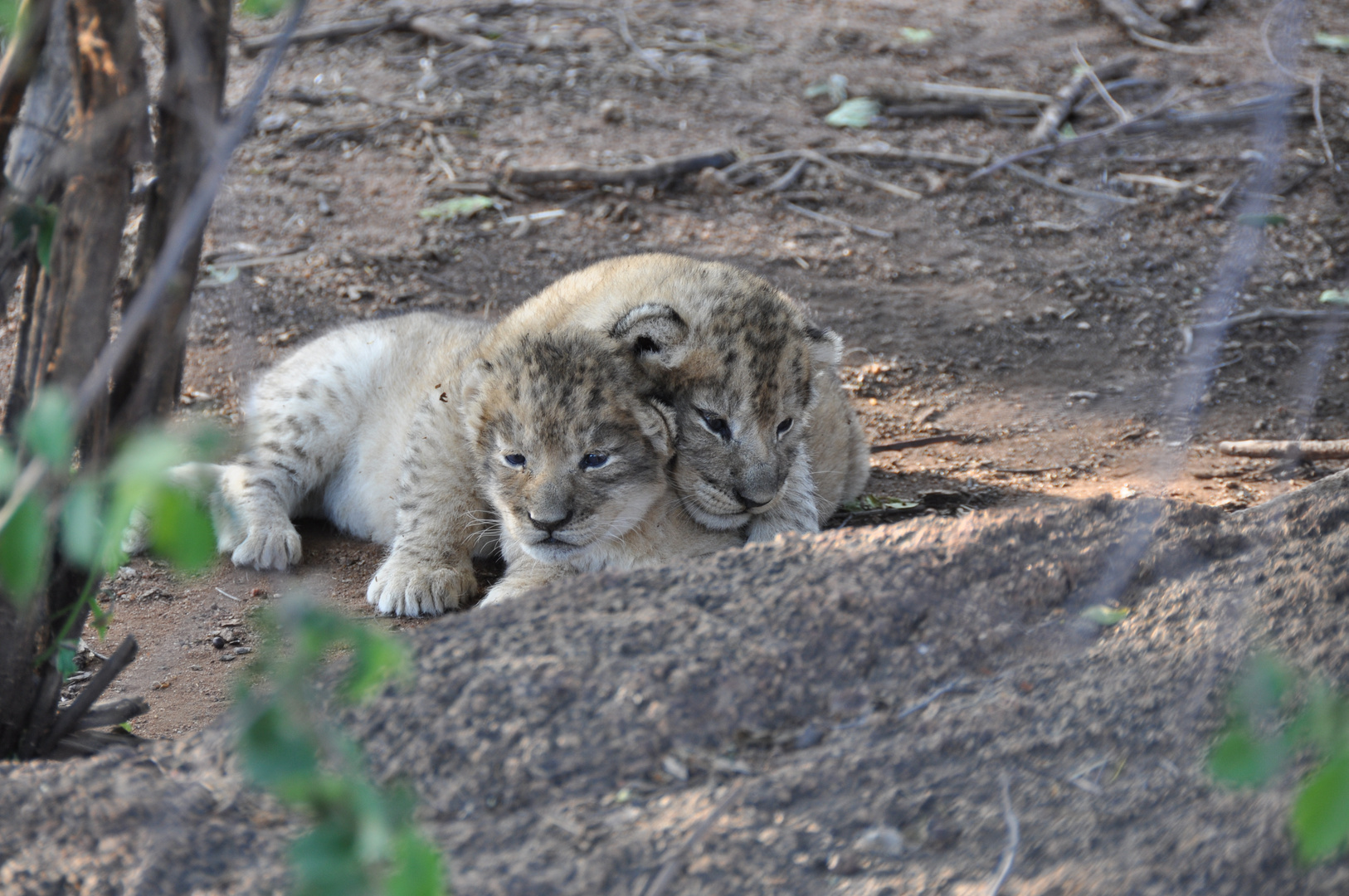 Löwen Baby / Lion Cubs two weeks old