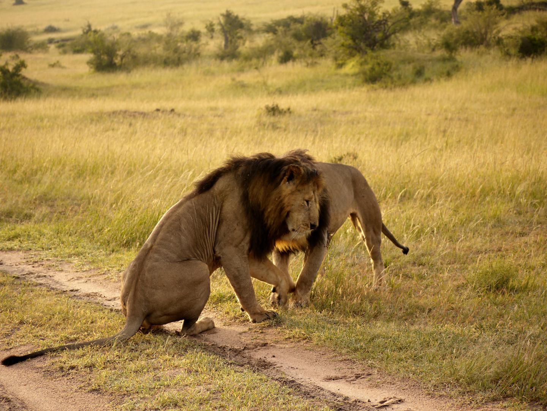 Löwen Begegnung-2