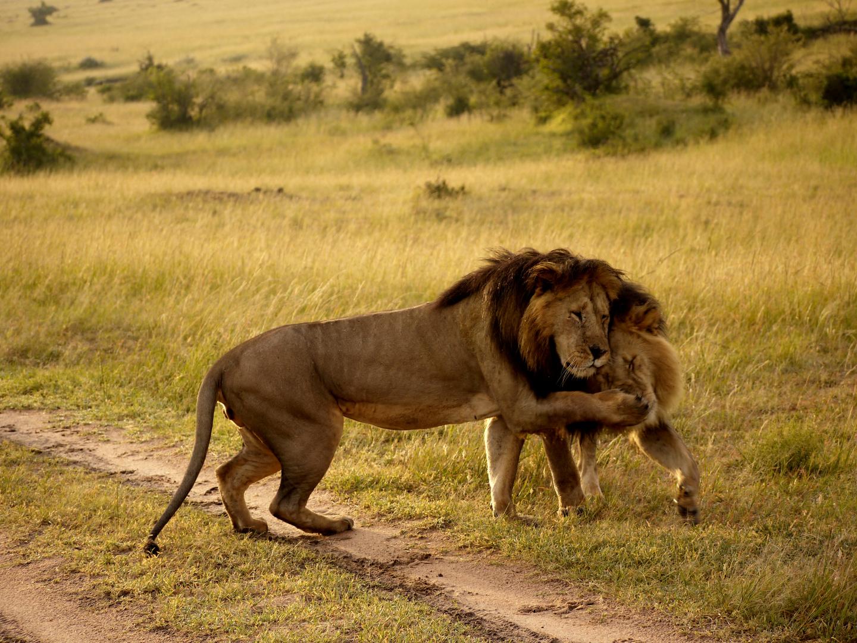 Löwen Begegnung-3