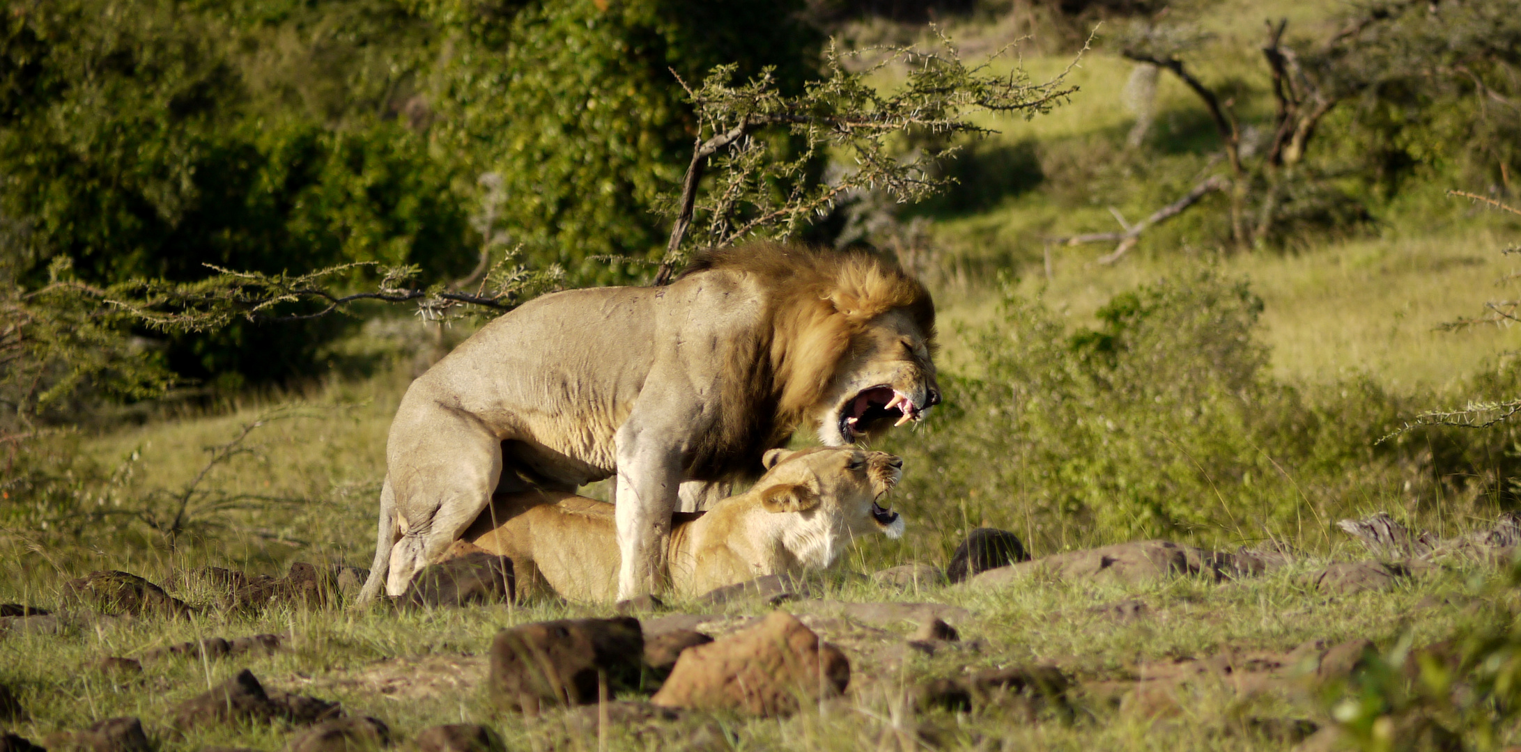 Löwen bei der Paarung