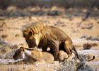Löwen beim Liebesspiel in der Etoschapfanne (Namibia)