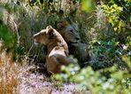 Löwen beim Schäferstündchen?