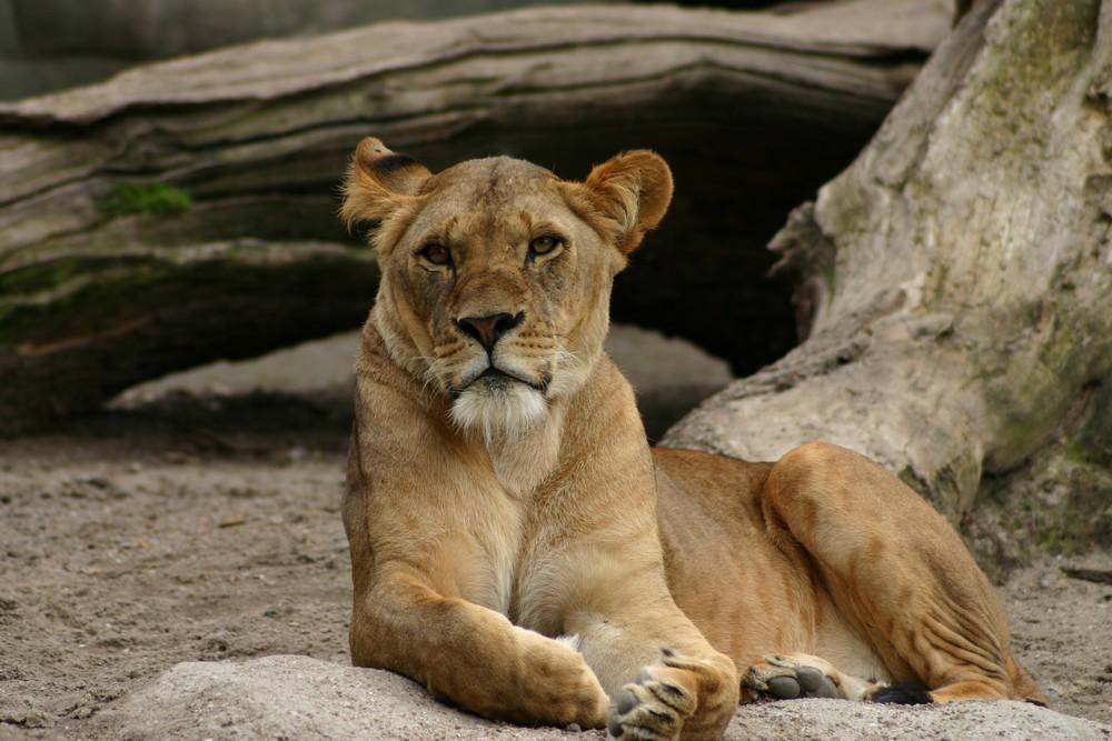 Löwen Diva