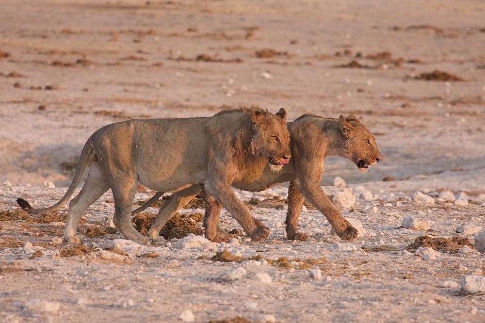 Löwen - Etoscha Namibia