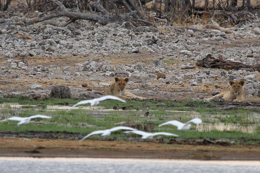 Löwen Etosha Namibia 15.10.2009
