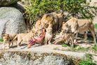 Löwen Fütterung