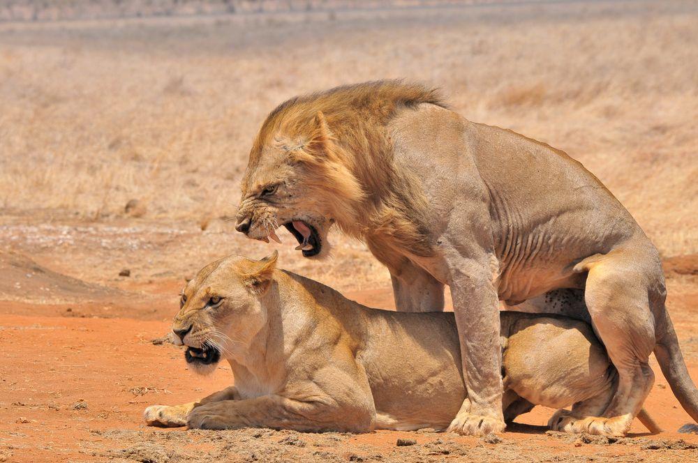 L wen hochtzeit foto bild afrika lion kenia bilder for Sofa von der seite