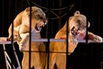Löwen im Circus