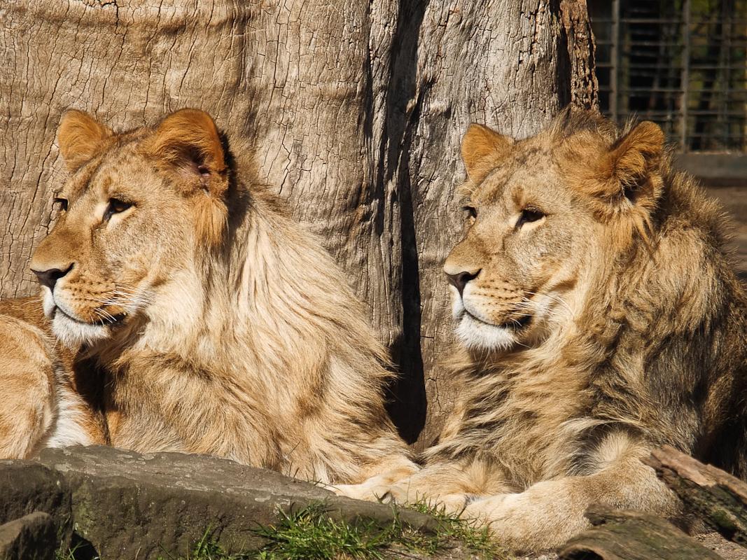 Löwen im Dortmunder Zoo