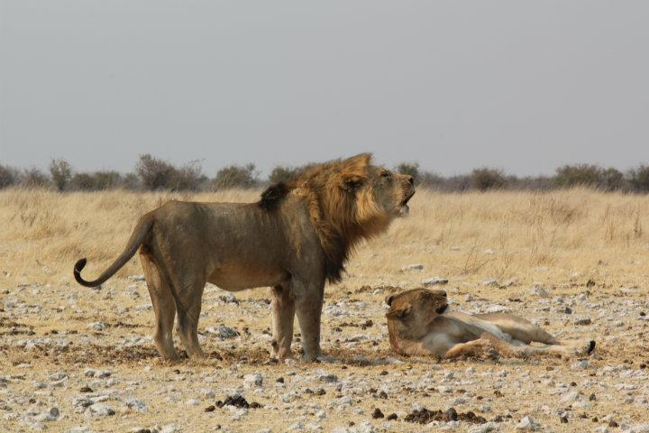 Löwen im Etosha