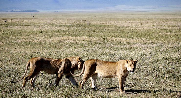 Löwen im Krater