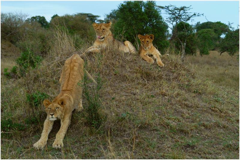 Löwen im Masai Mara Game Reserve_Kenya