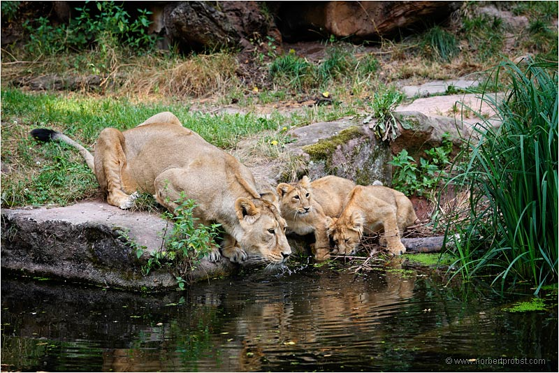 Löwen im Tiergarten