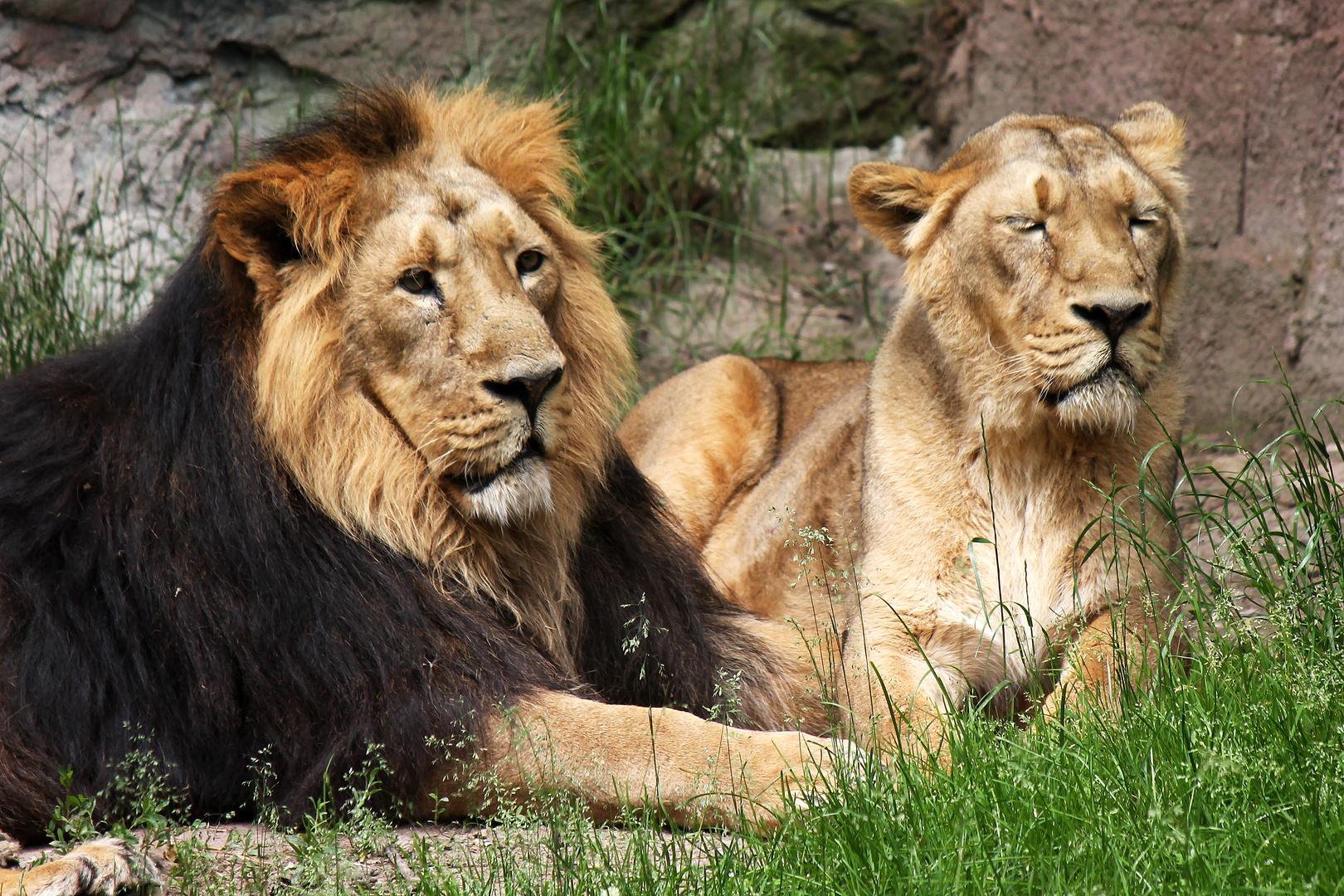 Löwen im Tierpark Nürnberg