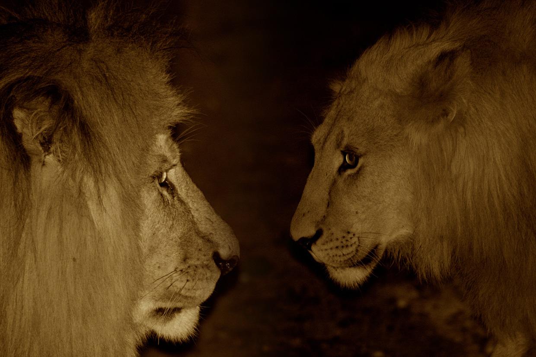 Löwen in der Nacht