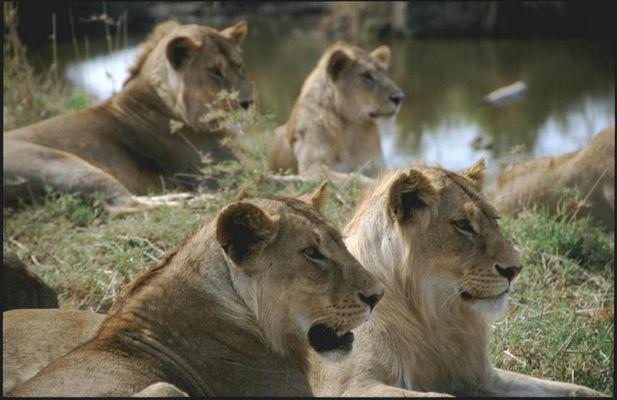 Loewen in der Serengeti
