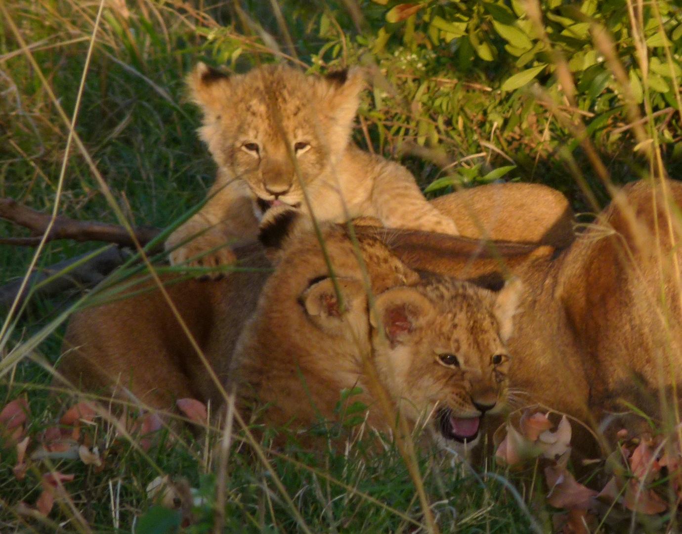 Löwen-junge in der Masai-Mara