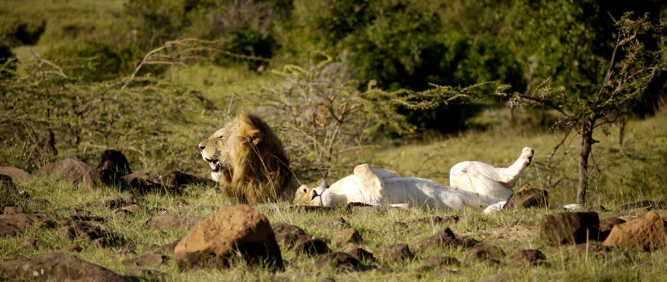 Löwen kurz vor der Paarung