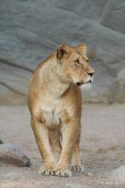 Löwen-Mama beim Posen