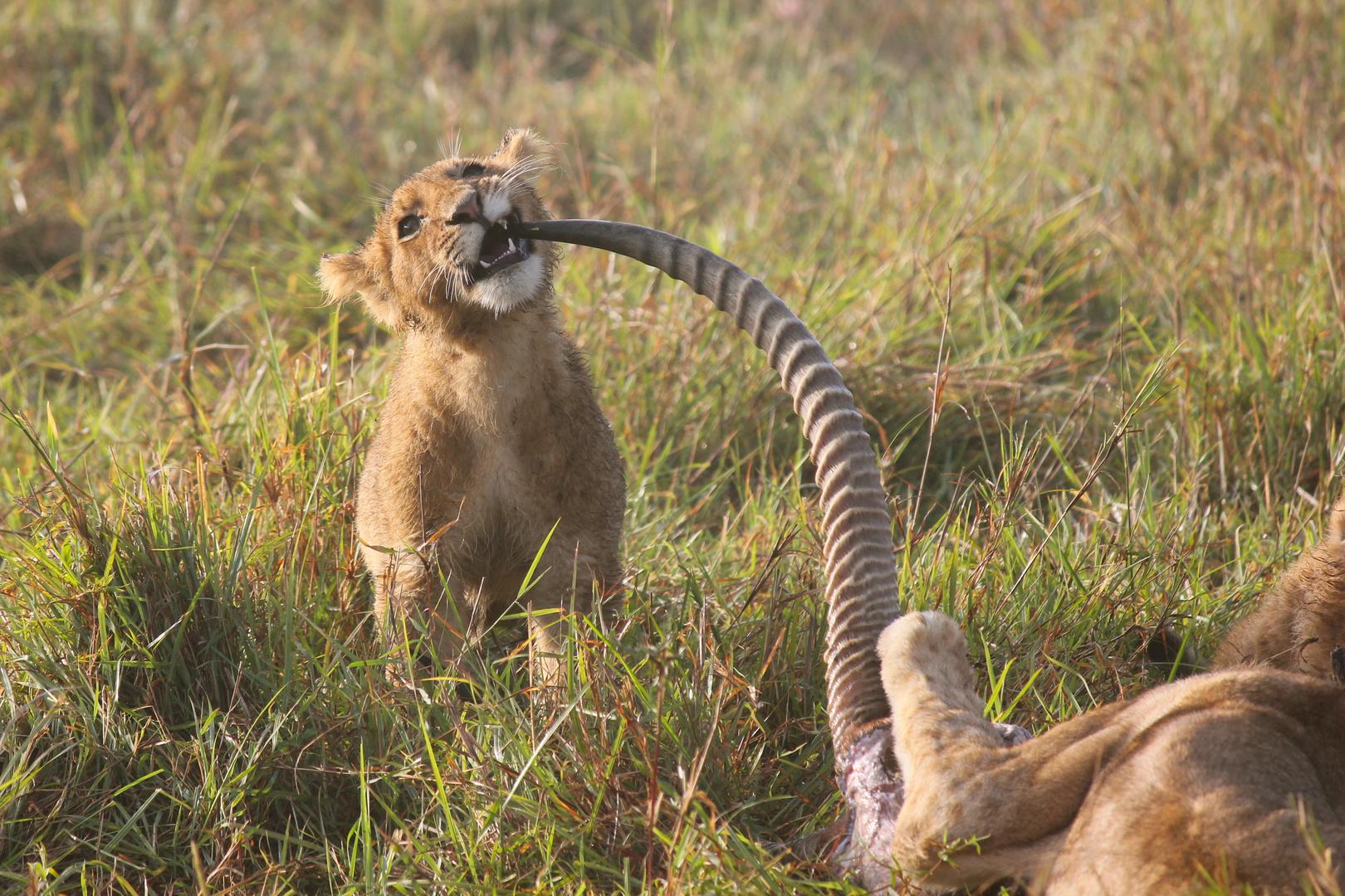 Löwen Masai Mara - Zahnstocher