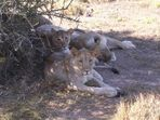 Löwen mit Spielzeug