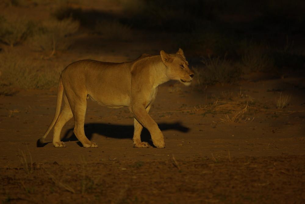 Löwen, Morgenstimmung Kalahari Gemsbock NP