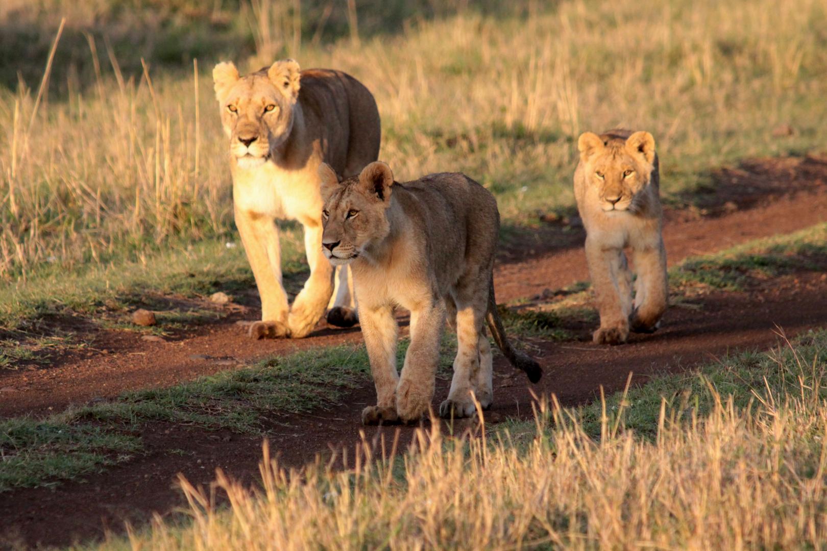 Löwen Mutter mit Nachwuchs