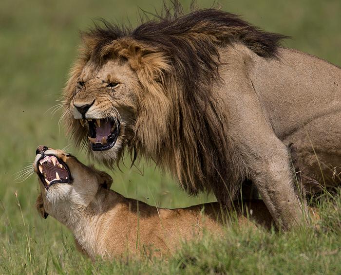 Löwen Paarung