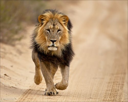 Löwen Running in der Kalahari