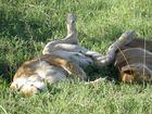 Löwen sind auch nur Katzen ...