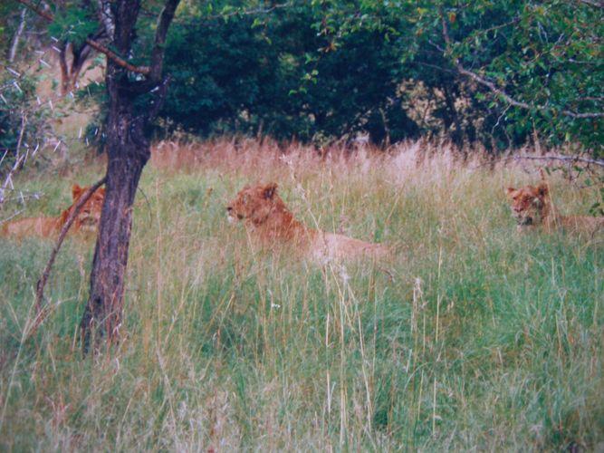 """ Löwen "" Südafrika Safari * 5 *"