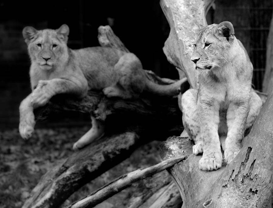 Löwen Zoo Dortmund