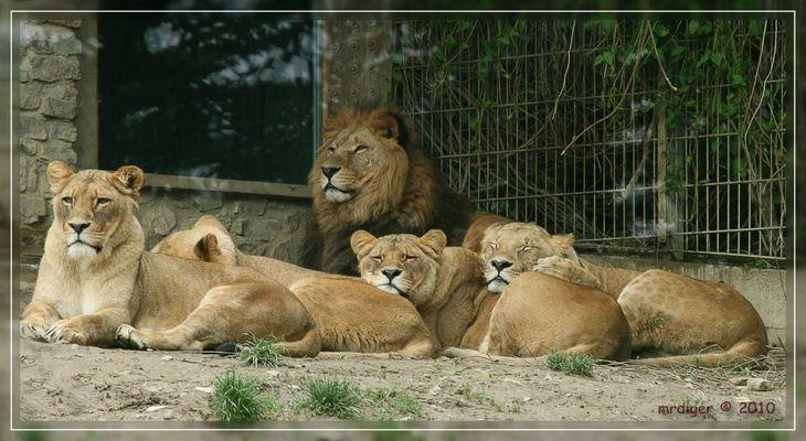 Löwen Zoo Osnabrück