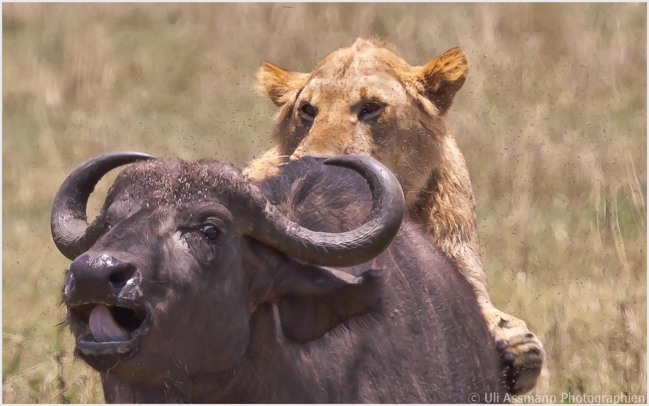 Löwenangriff