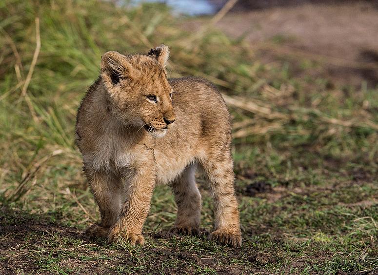 Löwenbaby 2