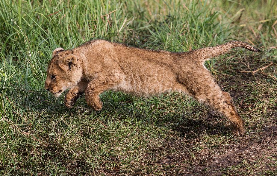 Löwenbaby 3