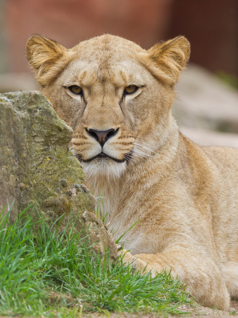 Löwendame 1